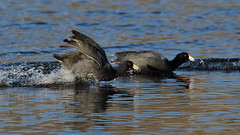 Coot Race (SeattleClick Photography) Tags: americancoot coot coots bird birds action race racing scamper splash water lakewashington flight prey wildlife nature animal animals