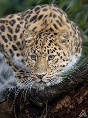 Female Amur Leopard (Ashley Wallace Photography) Tags: nikon naturalworld nature wildlife photograph photography green blue cold winter whiskers cat furr golden yellow spots bigcat leopard amurleopard