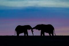 "Poetry 3I0663 (Dr DAD (Daniel A D'Auria MD)) Tags: elephants africanelephants bushelephants africa kenya amboseli amboselinationalpark tanzania serengeti maasaimara mara mammals wildlife ""largestanimal"" ""largestmammal"" wildlifephotography awardwinning danielad'auriamd"" ""drdadbooks"" ""children'swildlifebooksbydanield'auria"" ""danield'auria"" ""november2019"""