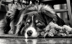 Guarding His Kill (jayvan) Tags: dash oregon portland home aussie australianshepherd dog resting watching bw blackandwhite monochrome raggedtoy proudofhiskill twtme