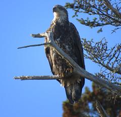 Young bald eagle (Hodgey) Tags: eagle immature baldeagle