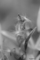 Soft (lamoustique) Tags: seed pod flower blackandwhite bw flowers