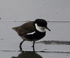 Red-kneed Dotterel (Eryhtrogonus cinctus) (iainrmacaulay) Tags: australia act bird redkneed dotterel erythrogonys cinctus