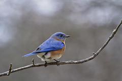 december bluebird ( explore ) (G_Anderson) Tags: bluebird backyard birds missouri winter