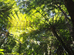 Dappled light - ancient ferns (PR Day) Tags: ferns rainforest australia