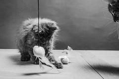Education. (LACPIXEL) Tags: education educación chat cat gato gatita kitten chaton regard observer jouer play jugar pénélope penny amy whiskers nikon nikonfr nikonfrance flickr lacpixel