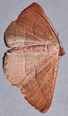 Dreamtime moth Nadagara sp aff xylotrema Ennominae Geometridae Mandalay Rainforest Airlie Beach P1089480 (Steve & Alison1) Tags: dreamtime moth nadagara sp aff xylotrema ennominae geometridae mandalay rainforest airlie beach