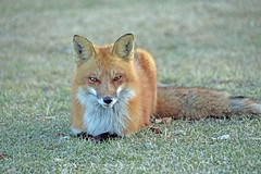 Wise Old Fox (marylee.agnew) Tags: red fox wise vulpes clever mind reader canine nature learning wildlife old outdoor
