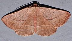 Dreamtime moth Nadagara sp aff xylotrema Ennominae Geometridae Mandalay Rainforest Airlie Beach P1089483 (Steve & Alison1) Tags: dreamtime moth nadagara sp aff xylotrema ennominae geometridae mandalay rainforest airlie beach
