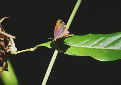 THE BICOLOUR LONG-HORN FLITTER, ISMA PROTOCLEA (nikolayloginov) Tags: butterfly thailand бабочка таиланд