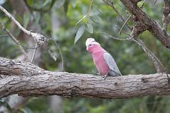 Galah (richard.mcmanus.) Tags: galah bird parrot australia outdoors mcmanus forest tree perching animal wildlife