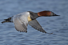 Male Canvasback Duck (Brian E Kushner) Tags: canvasback canvas back aythyavalisineria choptank river choptankriver cambridge md maryland oakley st nikon d850 nikond850 birds bkushner wildlife animals duck birdwatcher ©brianekushner nikonafsnikkor800mmf56efledvrlens afs nikkor 800mm f56e fl ed vr lens male flight flying