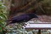 Carrion Crow  61