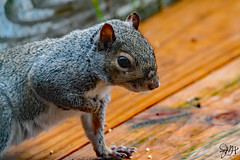 2019.12.01.8662 Squirrel III (Brunswick Forge) Tags: 2019 grouped virginia botetourtcounty animal animals animalportraits day cloudy rain autumn wildlife nature nikond500 nikkor200500mm nikonflickraward outdoor outdoors 14xteleconverter