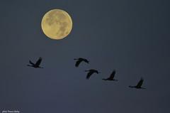 Grue cendrée (Grus grus) (francisaubry) Tags: gruecendrée grusgrus oiseau bird aves nikon nikkor lacduder migration