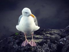Just chillin in Santa Cruz... (cassandi) Tags: nature wildlife california coastalbirds bird seagull gull