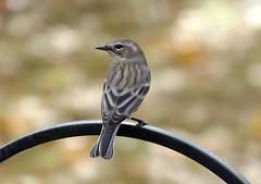 Subtle Beauty (ChicaD58) Tags: dscf0112b warbler migratorybird subtlebeauty sunnyafternoon backyard autumn yellowrumpedwarbler ngc