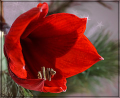 Macro Mondays: red (Körnchen59) Tags: macromondays hmm thema red rot amaryllis blume flower sony 6000 körnchen59 elke körner