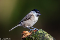 Marsh Tit (Linda Martin Photography) Tags: bird hampshire paruspalustris marshtit wildlife eyeworthpond newforest nature naturethroughthelens coth alittlebeauty coth5 ngc npc