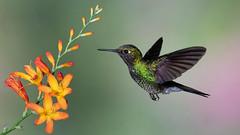 Tourmaline Sunangel (Eric Gofreed) Tags: ecuador guangolodge heliangelusexortis hummingbird tourmalinesunangel multiflashsetup