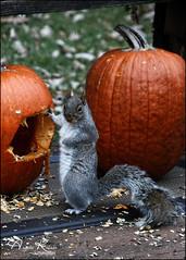 How's This Pose?? (angelakanner) Tags: canon70d tamron18400 greysquirrel pumpkin garden longisland