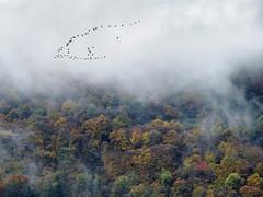 Bird migration (ladigue_99) Tags: migration geese cannobio lakemaggiore italy piedmont verbanocusioossola autumn december santagata birds fog fallcolors