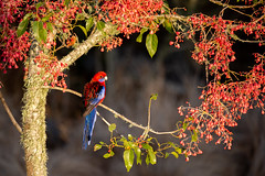 Sunrise Garland for Crimson Rosella (armct) Tags: crimsonrosella illawarraflametree parrot bird colourful colorful crimson blue flame flower bud rosella sunrise depthoffield bunyamountains queensland hinterland goldcoast tree perch branch garland male