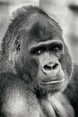 Oscar Jonesy (Thomas Hawk) Tags: animal ape bayarea california oscarjonesy sfbayarea sanfrancisco sanfranciscobayarea sanfranciscozoo usa unitedstates unitedstatesofamerica aniimal bw gorilla monkey silverback silverbackgorilla zoo fav10 fav25 fav50 fav100
