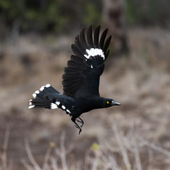 Currawong Launches (armct) Tags: currawong pied takeoff launch flight action strength grace eye intense gold yellow blackandwhite bird australian bunyamountains movement speed propulsion streperagraculina queensland hinterland wingtips tail