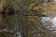 Fallen (nikjanssen) Tags: nature pond fallen autumn herfst caetsvijvers diepenbeek landscape birch explore