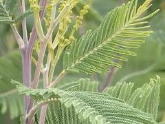 Acacia dealbata - Fiederzweig mit charakteristischen Drüsen und junge Blütenknospen (fotoculus) Tags: acaciadealbata acacia costa vicentina portugal algarve flora algarvewestküste vale da telha pflanzung silberakazie drüsen knospen
