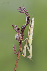 Mantis religiosa (Raul Espino) Tags: mantisreligiosa macro macrofotografia sevilla insectos naturaleza canon canon6dmarkii canon100mml