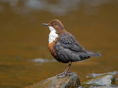 Dipper. (pecky2013) Tags: dipper speciescincluscinclus nature ukwildbirds rivergoyt birdphotography flickrnature cheshire wild wildlife