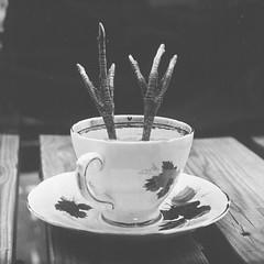 (Attila Pasek (Albums!)) Tags: stilllife teacup ambrotype wetplatecollodion feet largeformat collodion pheasant 4x5 anniversaryspeedgraphic graflex