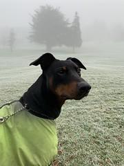 Doberman Pinscher Saxon - Foggy And Frosty December Morning (firehouse.ie) Tags: pinschers pinscher dobermanns dobermann dobermans doberman dogs dog dobes dobe cold boy animals animal