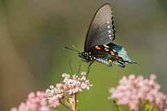 Spicebush Swallowtail Butterfly (mnolen2) Tags: insect nature butterfly swallowtail spicebush butterflybush