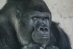Gorilla NASIBU (K.Verhulst) Tags: nasibu ape mensaap gorilla zilverrug silverback blijdorp blijdorpzoo diergaardeblijdorp rotterdam apen monkeys