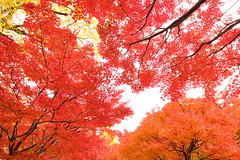 Red leaves in autumn (Teruhide Tomori) Tags: 智積院 京都 寺院 日本 東山 紅葉 tradition architecture momiji 樹 tree autumn red maple kayede kyoto japan japon 秋 モミジ temple chishakuintemple
