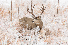 November 29, 2019 - A mule deer in the frost. (Tony's Takes)