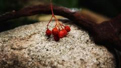 Left over... (ElsjeD) Tags: sorbusberries lijsterbesbes mygarden samsungnx300 autumn