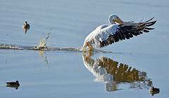 Not so graceful (Snixy_85) Tags: americanwhitepelican whitepelican leonabelleturnbullbirdingcenter pelecanuserythrorhynchos