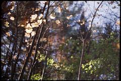 (Armin Schuhmann) Tags: 2018 minolta srt srt101 101 wrokkor rokkor 58mm f14 5014 1450 prime vintagecamera vintagelens vintage old konica centuria centuria200 200asa expired expired2011 color negative tetenal c41 argentique analogue analogic analog analogo analogico analogica automn ishootfilm believeinfilm buyfilmnotmegapixels bokeh dof scan selfdeveloped shootfilm filmisnotdead filmphotography filmscan filmphoto film filme estrie easterntownships quebec canada nature natural outdoors trees foliage bark leaves sky countryside rur пленка mc pf фотопленка