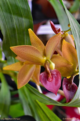 Cycnodes Chiriqui (Cyc. warscewiczii 'Giant Swan' x Morm hookeri 'SVO') (Chaufglass) Tags: exposition enghienlesbains orchid orchids orchidée cycnoches cycnodes chiriqui mormodes plant flower nature fleur