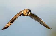 Short eared owl (Thy Photography) Tags: nature animal backyard outdoor wildlife california sunset bird sunshine sunrise dawn dusk thyphotography owl owls shortearedowl haywardregionalshoreline haywardshoreline