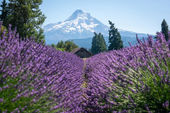 Lavender Valley Farms (Mike Ver Sprill - Milky Way Mike) Tags: lavender valley farms farm agriculture purple violet explore travel landscape nature flowers flower shack shed barn hood mountain mount mike versprill michael ver sprill