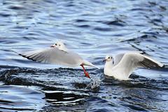 seagulls301119 (leszek30) Tags: seagulls bird butterfly wildlife wild nature animals nikon d7200 70300 sp70300divcusd tamron