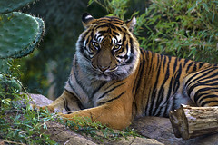 Sumatran Tiger (@Katerina Log) Tags: leopard wild wildanimal wildlife outdoor stripes fur eyes fe70200mmf4goss sonyilce9 katerinalog attikazoopark animal mammal
