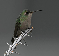 Broad-billed Hummingbird, Cynanthus latirostris (Dave Beaudette) Tags: birds broadbilledhummingbird cynanthuslatirostris reidpark tucson pimacounty arizona