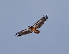 November 30, 2019 - Juvenile bald eagle flyby. (Bill Hutchinson)