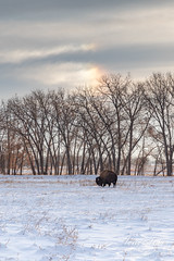 November 30, 2019 - A bison grazes under an iridescent cloud. (Tony's Takes)